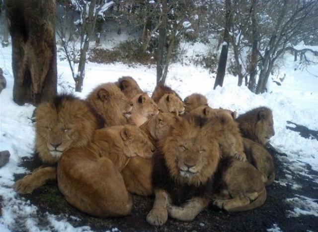 Cold_Lions